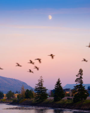 Photograph of migratory birds, blurred from a slow shutter speed, flying beneath a gibbous moon in the Columbia River Gorge.